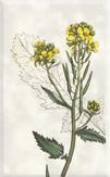 Gegužės 2 dienos gėlė: Laukinė garstyčia
