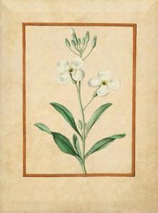 Gegužės 4 dienos gėlė: Leukonija