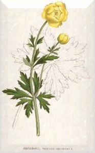 Gegužės 6 dienos gėlė: Vėdrynas