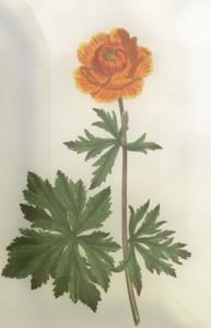 Gegužės 7 dienos gėlė: Vėdrynas