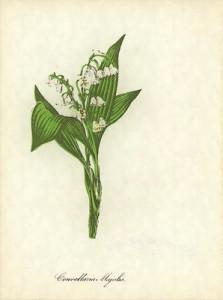 Gegužės 8 dienos gėlė: Pakalnutė