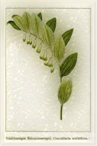 Gegužės 9 dienos gėlė: Daugiažiedė pakalnutė