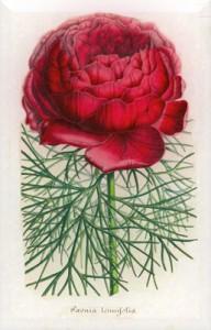 Gegužės 10 dienos gėlė: Siauralapis bijūnas