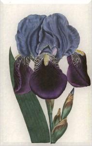 Gegužės 12 dienos gėlė: Vokiškasis vilkdalgis