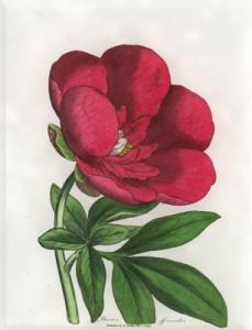 Gegužės 14 dienos gėlė: Vaistinis bijūnas