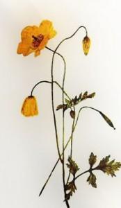 Gegužės 15 dienos gėlė: Velso aguona