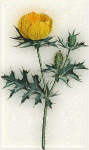 Gegužės 17 dienos gėlė: Aguona