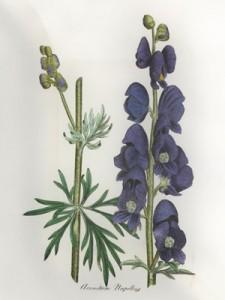 Gegužės 19 dienos gėlė: Mėlynoji kurpelė