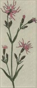 Gegužės 21 dienos gėlė: Šilkažiedė gaisrena