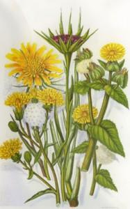 Gegužės 22 dienos gėlė: Pievinis pūtelis