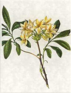 Gegužės 26 dienos gėlė: Geltonoji azalija