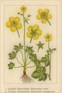 Gegužės 27 dienos gėlė: Vėdrynas
