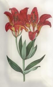 Liepos 21 dienos gėlė: Filadelfijos lelija