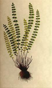 Sausio 30 dienos gėlė: Šerinė kalnarūtė