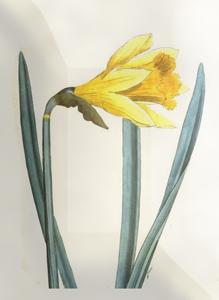 Kovo 7 dienos gėlė: Narcizas