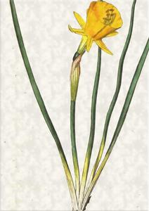 Kovo 9 dienos gėlė: Sijonuotasis narcizas