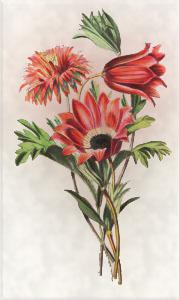 Sausio 17 dienos gėlė : Anemona
