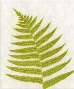 Sausio 31 dienos gėlė:Briedielinė kalnarūtė