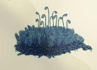 Sausio 18 dienos gėlė: Vaiskioji uolenė