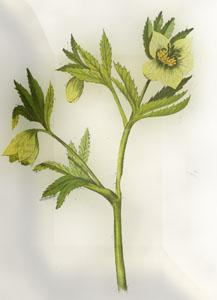 Kovo 5 dienos gėlė: Žaliasis eleboras