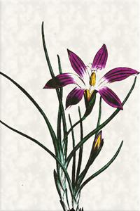 Kovo 12 dienos gėlė: Ikisija