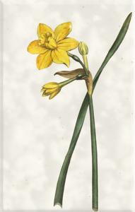 Kovo 27 dienos gėlė: Kvapnusis narcizas