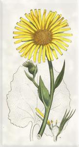 Kovo 18 dienos gėlė: Laumenė
