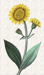 Kovo 28 dienos gėlė: Kalninė arnika