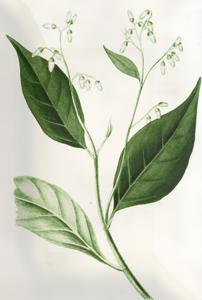 Kovo 31 dienos gėlė: Lauramedis
