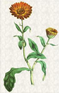 Kovo 25 dienos gėlė: Vaistinė medetka