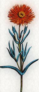 Kovo 3 dienos gėlė: Auksinė pluoštagėlė