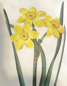 Kovo 8 dienos gėlė: Narcizas