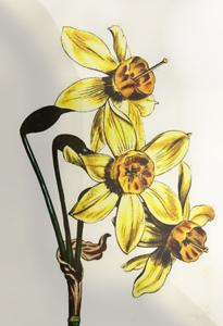 Kovo 16 dienos gėlė: Siauralapis narcizas