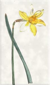 Kovo 23 dienos gėlė:Narcizas