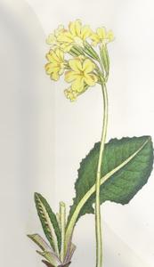 Kovo 29 dienos gėlė: Raktažolė