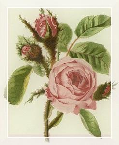 Birželis - Rožė