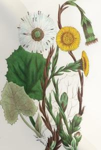 Kovo 15 dienos gėlė: Šalpusnis