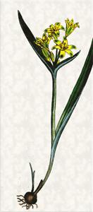 Kovo 19 dienos gėlė: Skėtinė paukštapienė