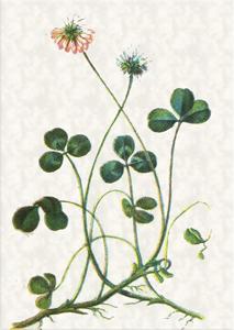Kovo 17 dienos gėlė: Trilapis dobilas